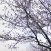 冷泉公園桜が開花!!