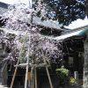 櫛田さんの枝垂桜